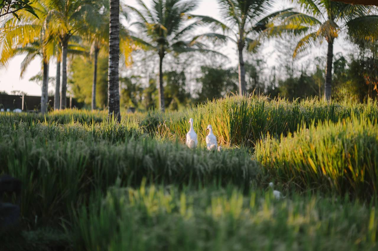 S&A: Bali Wedding Photography at Kamandalu Ubud 99